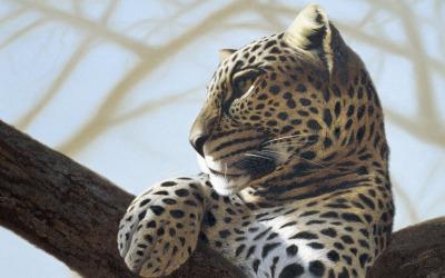 Samburu Leopard